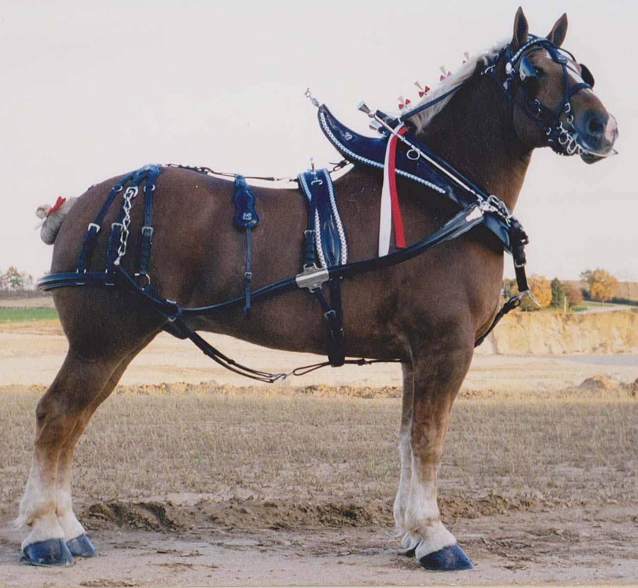 draft show harness shanahan harness rh shanahanharness com Draft Horse  Harness Storage Draft Horse Harness in Use